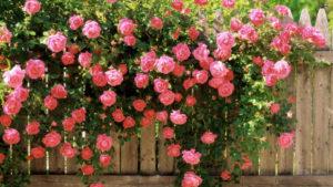 кустов роз красиво